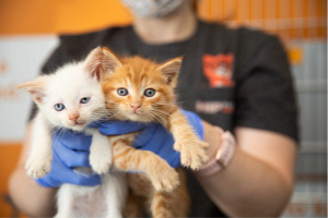 White kitten and orange kitten being held up to camera
