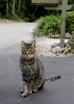Tabby cat standing at the end of driveway