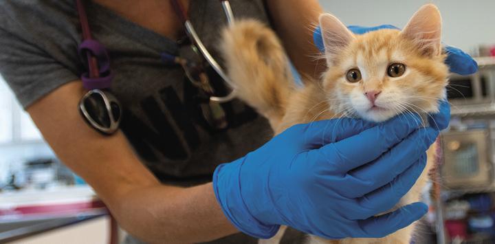 Orange kitten being held by a vet wearing blue gloves