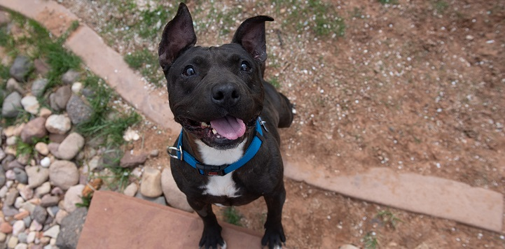 Black and white pit bull type dog standing with front paws on rock and looking at camera with mouth open