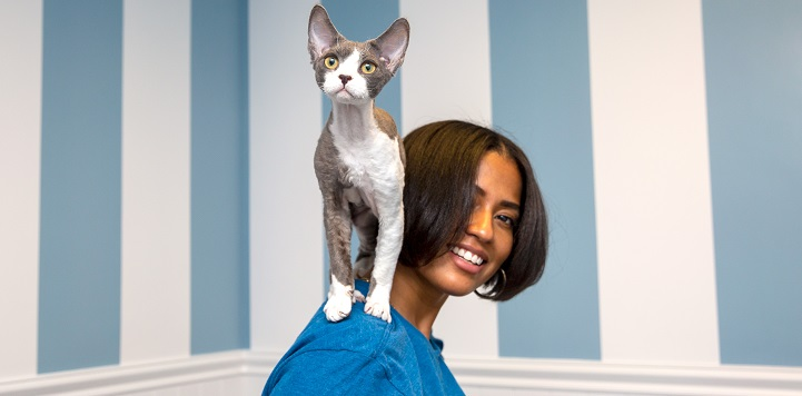 Gray and white short haired cat standing on shoulder of person wearing blue shirt