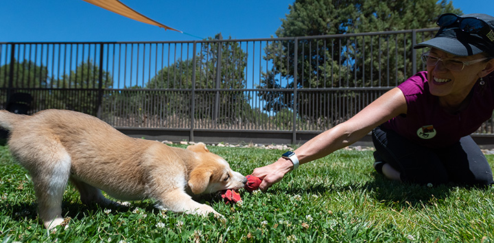 Woman playing tug-o-war with at toy and a puppy