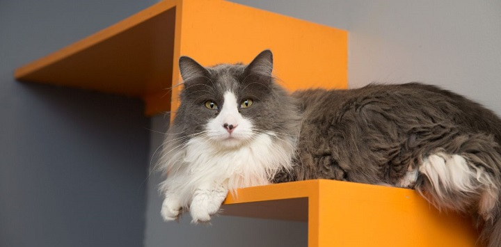 Long-haired gray and white cat lying on orange shelf