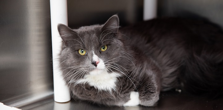 Dark gray and white cat lying in metal crate