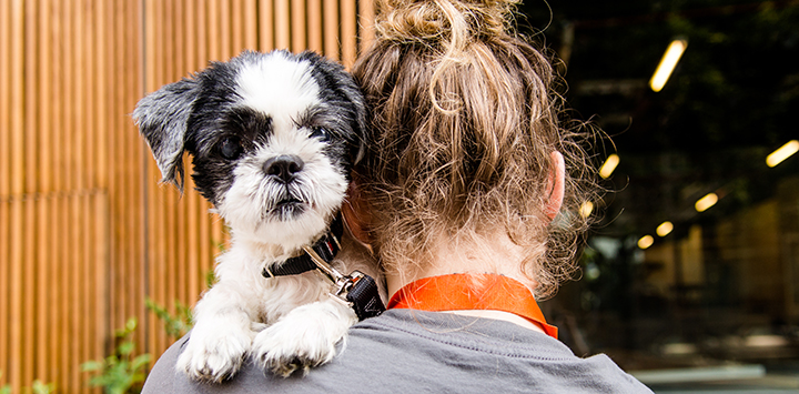 Small black and white dog looking over a person's shoulder