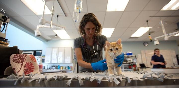 Female veterinarian examining orange kitten on table