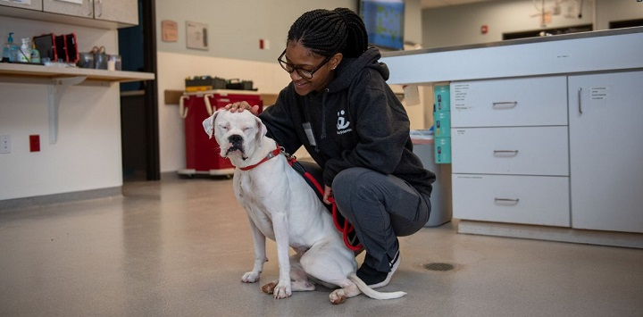 White pit bull dog sitting with woman in black sweatshirt in clinic
