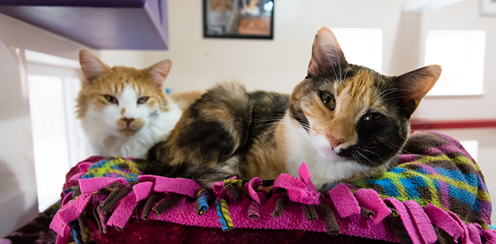 Calico cat and tan and brown cat laying together