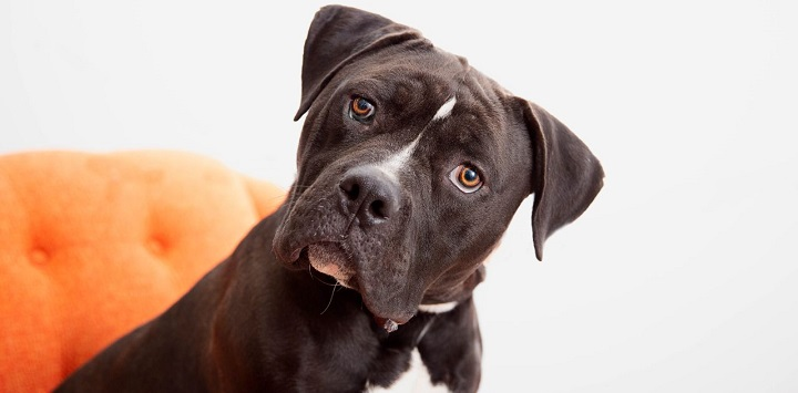 Black pit bull type dog with white fur on chest looking at camera and sitting on orange chair