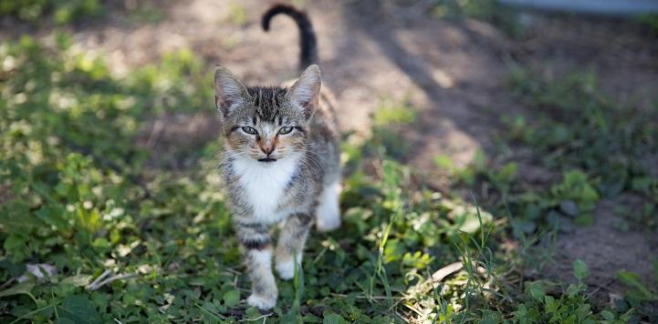 Gray, black, and white tabby kitten walking in grass