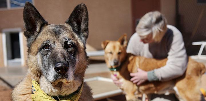 Guardian the German shepherd dog at Best Friends
