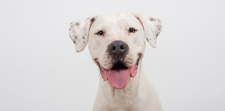Smiling white dog with gray spots on his ears