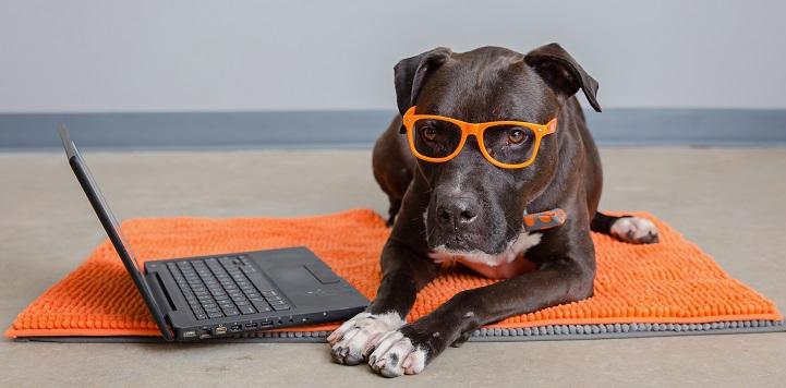 Dark brown pit bull type dog wearing orange glasses lying on orange rug in front of lap top