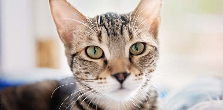 Brown tabby cat to promote June Cat Adoption promotion participating Network Partners