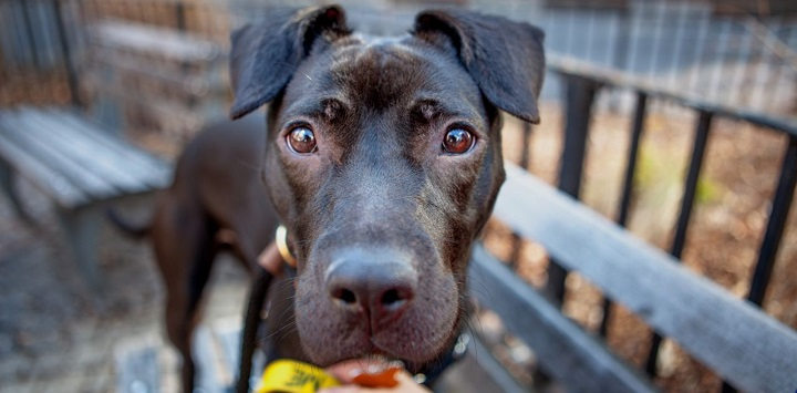 Black pit bull type dog looking into camera with wooden rail fence behind