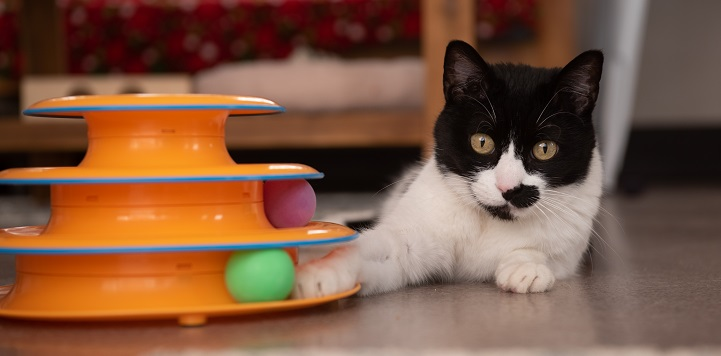 Black and white cat lying next to orange toy with green ball