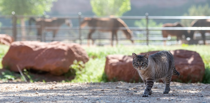 Gray tabby cat in front of rock with brown horses in the background