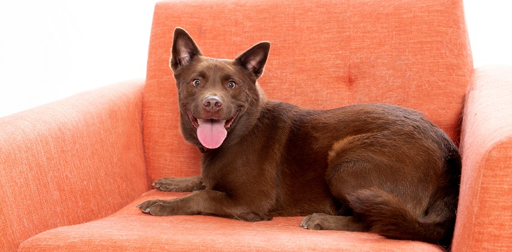 Brown dog lying in orange chair with mouth open and tongue sticking out