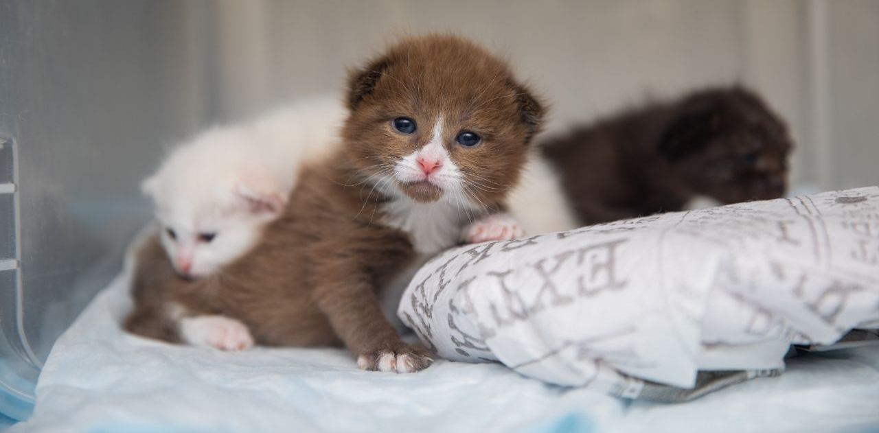 Neonate kittens use a heating pad in a kennel