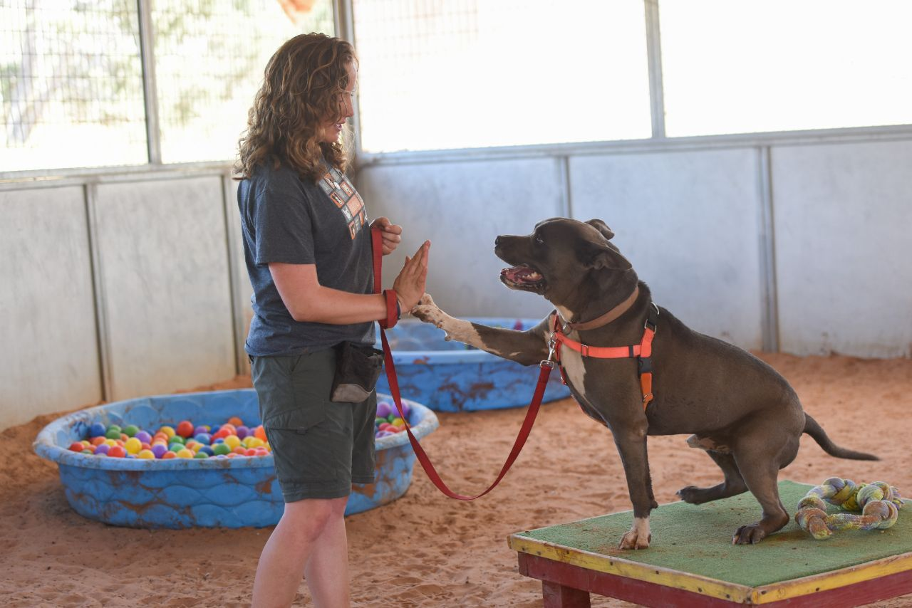 Dog trainer and pit-bull-terrier-type dog giving a high five