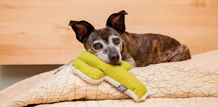 Small brindle dog on tan blanket with green cactus toy