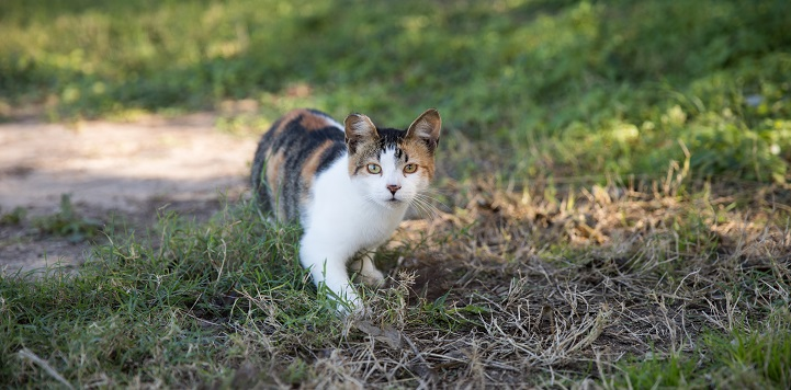Calico community cat walking in grass