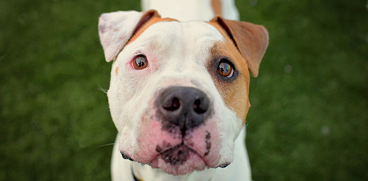 White and tan pit bull looking at camera