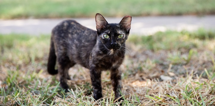 Black and brown cat with left ear tip standing in grass