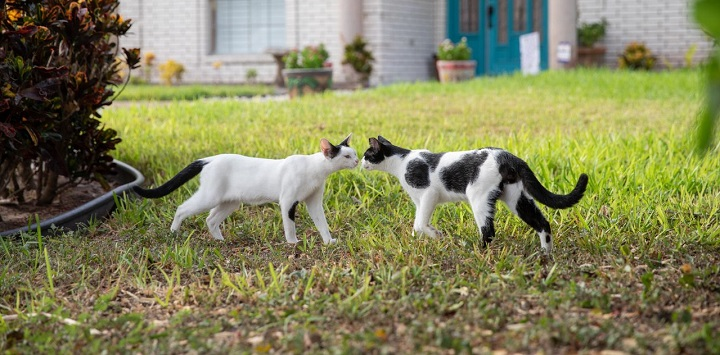 White cat and black and white cat sniffing each other nose to nose