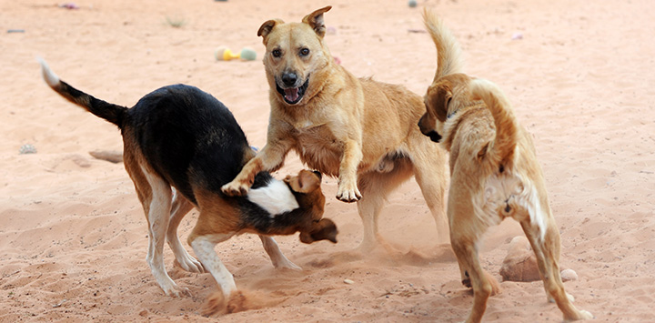 Three large dogs playing together