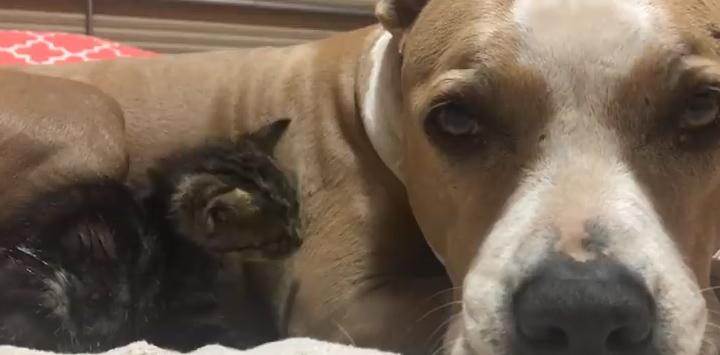 Gray pit bull snuggling with black kitten