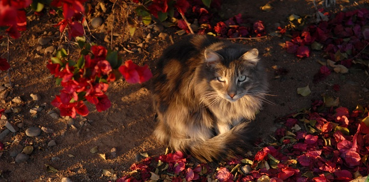 Brown and black cat lying on the ground in red flower petals