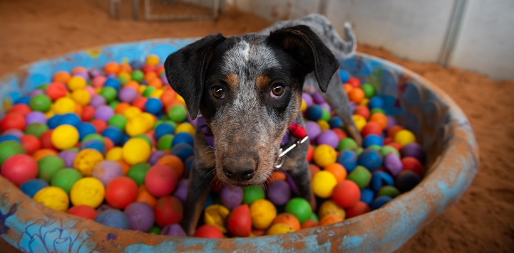 Black and white speckled dog in baby pool with colored balls