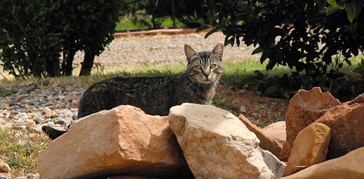 Brown tabby feral cat behind some rocks