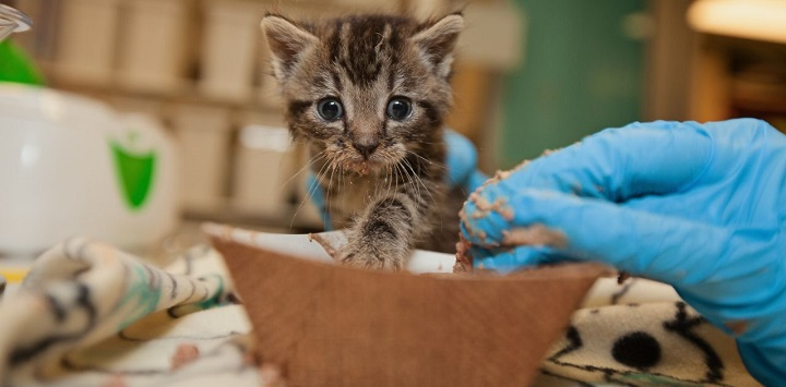 Gray tabby kitten being fed canned food from brown bowl by blue gloved hand