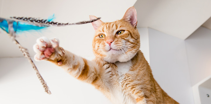 Feline Housing and Enrichment
