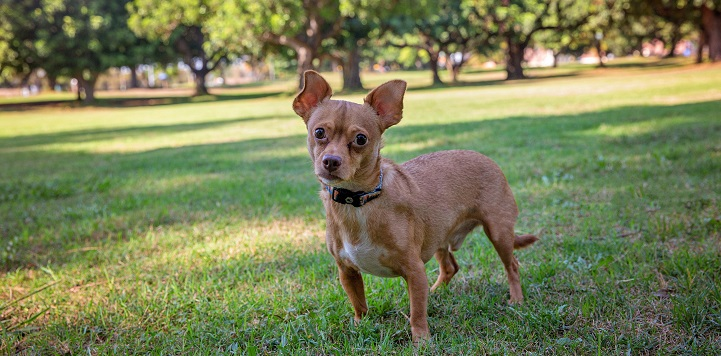Small brown dog standing in grass