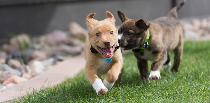 Tan puppy being chased by dark brown puppy
