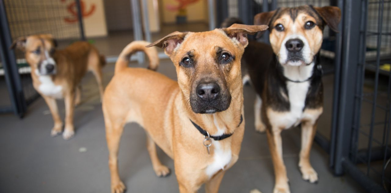 Tan dog and dark brown dog next to each other next to kennels with a third dog in the background