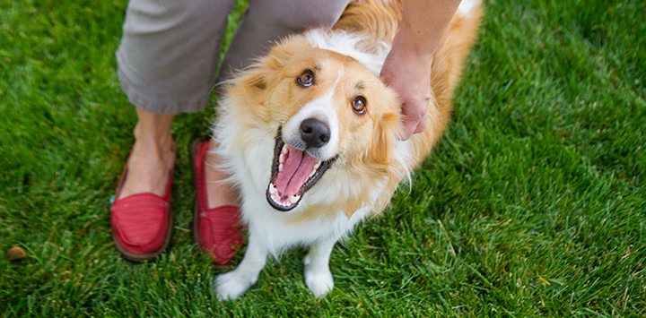 Brown and white dog looking up with mouth open at person