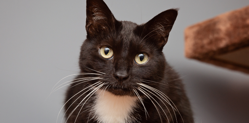 Tuxedo cat looking directly at camera