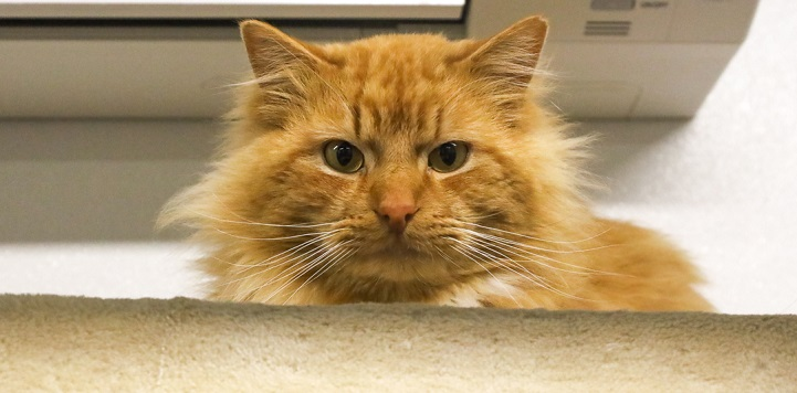 Orange long haired cat peeking over edge