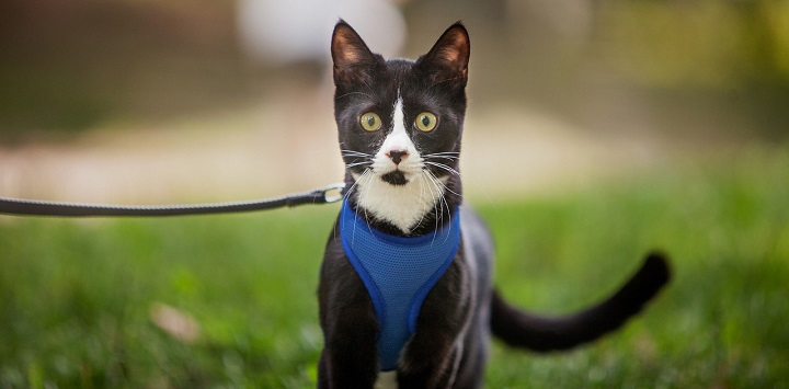 Black and white cat in a blue harness on leash standing in the grass