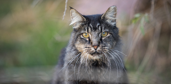 Gray Tabby Cat in Field