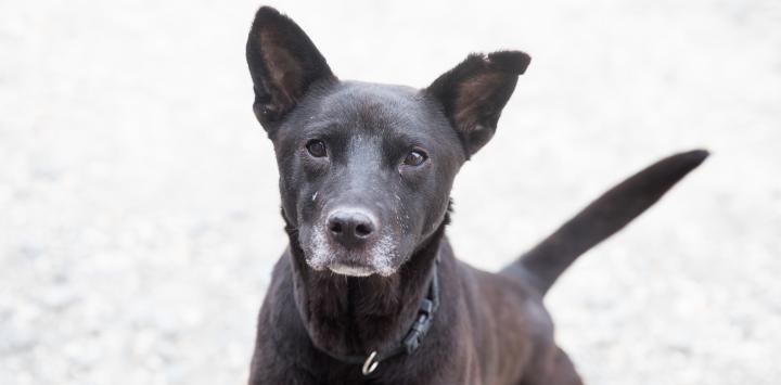 old black dog