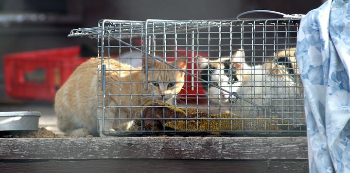 feral cats in trap