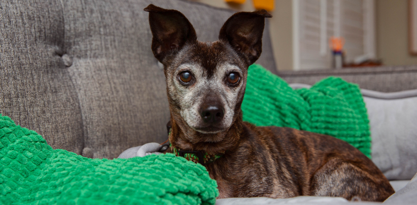 Small brown dog with big ears on couch