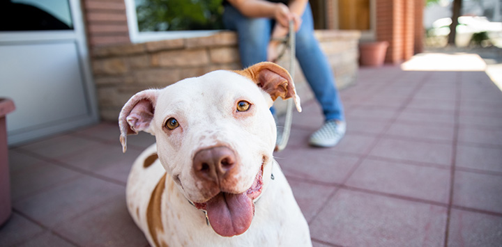 Person sitting while holding the leash of a smiling white and brown pit bull type dog