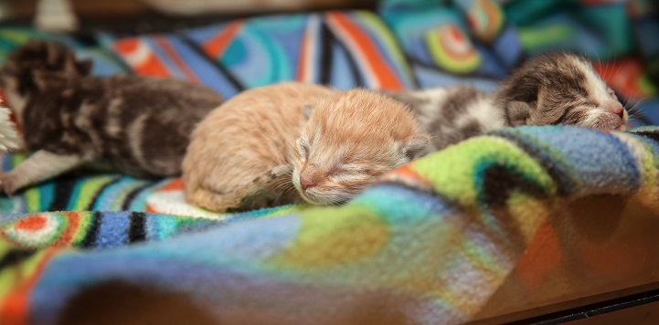 Three neonate kittens lying in multicolored blanket