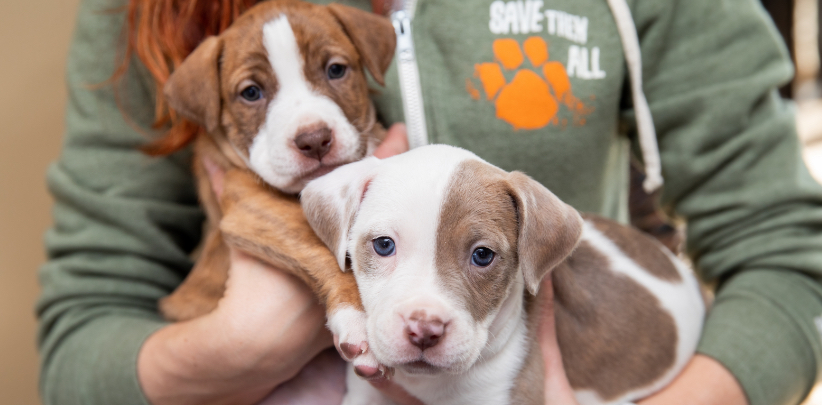 Best Friends staff member holding two brown and white puppies